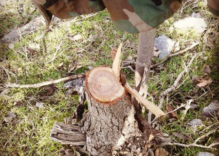 درختانی که سر بریده می شوند